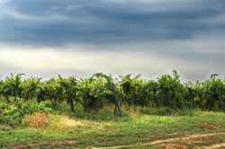 1087338_heavenly_vineyard.jpg